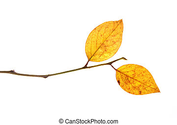 last of autumn leaves on branch isolated on a white...