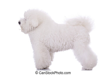 amazing bichon frise - side view of an amazing bichon frise,...