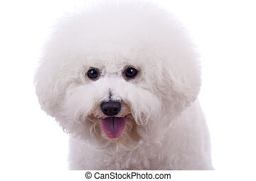 bichon frise sticking tongue out, on a white background