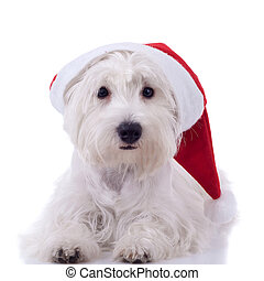 santa westie looking at the camera - White puppy dresed in...
