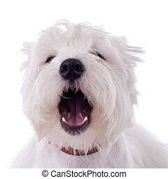 barking westie - barking West Highland White Terrier in...