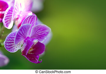 Pink orchid with water drops isolated. - Macro shot of a...
