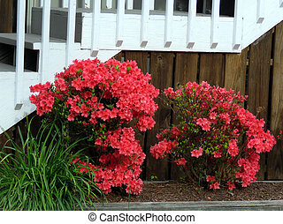 The Azalea in South Bethany Delaware, 8 May 2016 Usa