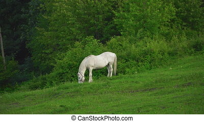 The horse grazes on the lawn - Horse grazes on lawn with...