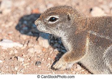 Profile of cape ground squirrel, Xerus inauris in Northern...