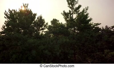 Flying trough forest - forest trees. flying trough forest....