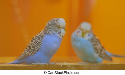 Couple of parrots swing on the seesaw - Couple of blue and...