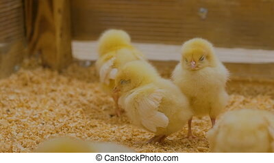Group of baby chicken on farm - Group of baby chicken on...
