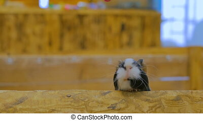 Curious guinea pigs looking around - Curious guinea pigs...