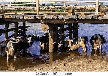 Cows on the watering place under the bridge photo