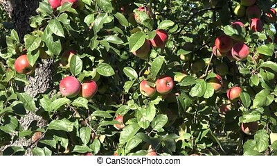 red ripe fresh apple fruit on tree in garden at autumn time....