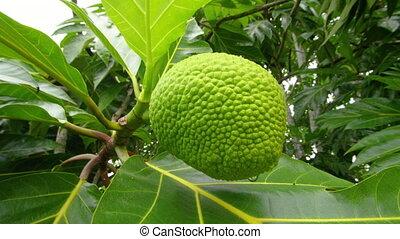 A jackfruit on branch - A full shot of a jack fruit on...