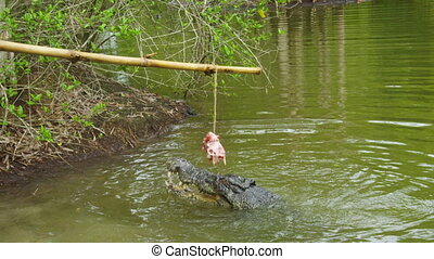 A shot of two crocodiles jumping for bait - A close up shot...
