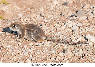 Cape ground squirrel, Xerus inauris in Northern Namibia - A...