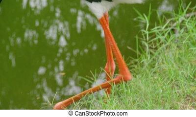 A shot of an ibis bird's feet - A medium shot to the feet of...