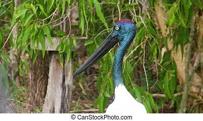 A shot of an ibis head - A medium shot of a ibis bird head...
