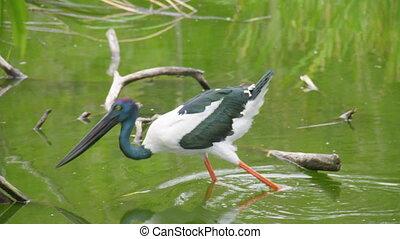 A shot of an ibis bird catching food - A full shot of an...