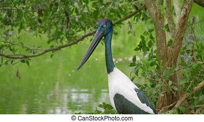 A shot of an ibis bird - A medium shot of an ibis bird that...