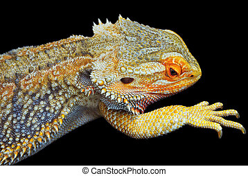 Bearded Dragon - Close up of one Central Bearded Dragon -...