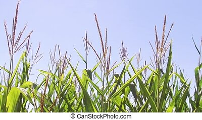 Corn field green grass agriculture united states the nature...