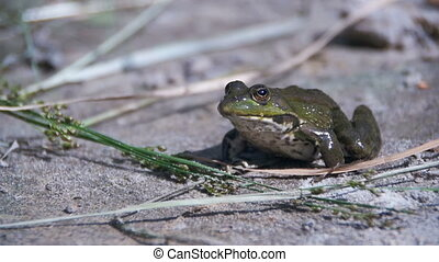 Green Frog Sitting on a River Bank and Jump in Water. Slow...