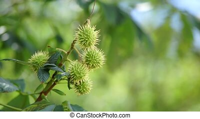 Branch chestnut tree - Young green chestnuts grown on a tree...
