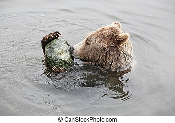 Brown bear playing in the water with a stone