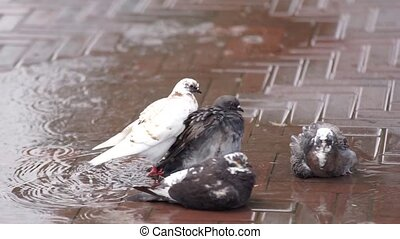 Pigeons bathe in the rain - On the street downpour. Pigeons...