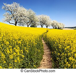 Rapeseed with parhway and alley cherry trees - Rapeseed,...