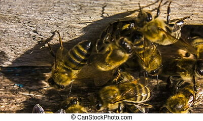 Macro slow motion. Honey Bees At The Entrance To Hive