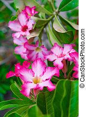 fiore medicinale, plants., adenium, obesum
