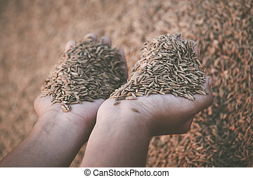 Hand holding paddy seeds