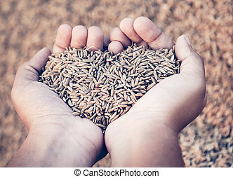 Hand holding golden newly harvested paddy seeds