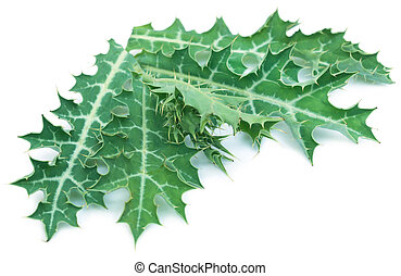 Medicinal Argemone mexicana or Mexican poppy leaves over...