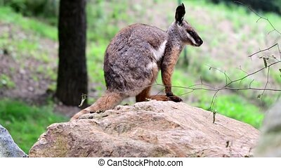 Yellow-footed Rock-wallaby. Geographic Range: southern and...