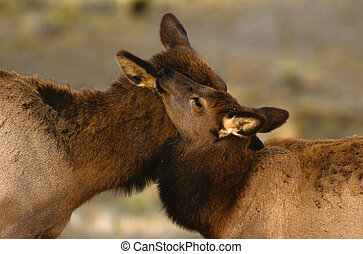 Cow and Calf Elk nuzzling - a cow elk and her calf nuzlling...
