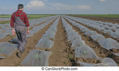 Farmer in watermelon field - Farmer examining watermelon and...