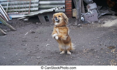 Little Red Dog Standing on Two Legs in the Yard on a Chain...
