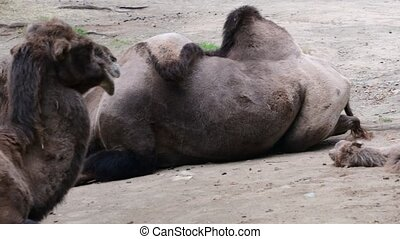 Bactrian Camel. Geographic Range: Its population of two...