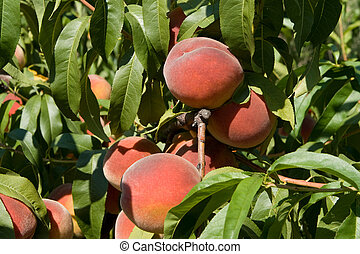 Peaches - Large ripe peaches on the branches, sunlit