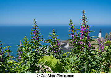 Purple Loosestrife Grows Above Pacific Ocean at Yaquina...