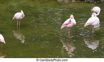 Greater Flamingo. Range: Europe, Asia, Africa, Madagascar -...
