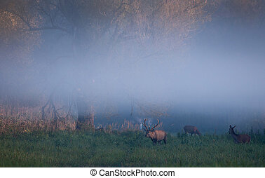 Red deer and hinds in forest - Red deer and hinds walking on...