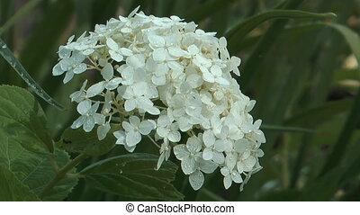 Cornus Alba. - HD 1080 close up clip of blossoming bush...