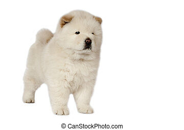 Chow-chow puppy. - Chow-chow puppy in front of a white...