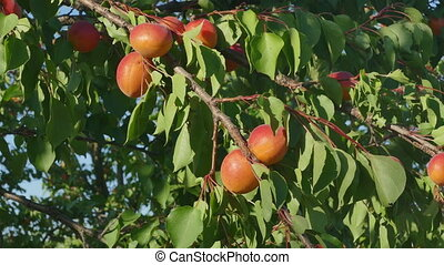 Apricot fruit at tree branch in orchard  in summer