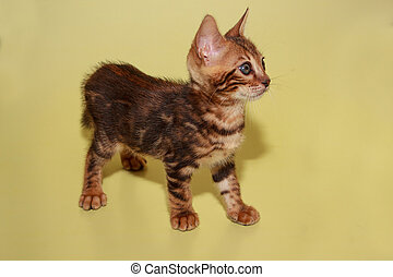 Small bengal kitten on a yellow background.