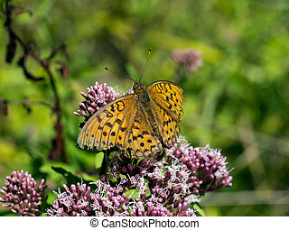 Argynnis adippe. High brown frittilary, male. - Orange brown...