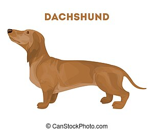 Isolated dachshund dog.