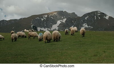 The flock of sheep grazing on a green lawn near the snow...